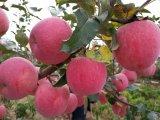 Красный свежего яблока из Китая