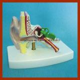 Modello anatomico dell'orecchio di destra naturale di formato