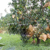 Luft und Tageslicht-durchlässige Guajava wachsen schützen Beutel