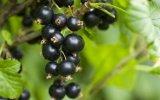 Haute qualité biologique Huile de graines de Cassis / l'huile de cassis