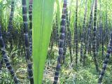 Estratto dell'estratto 90% Policosanol della cera della canna da zucchero, polvere di Policosanol
