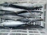 중국 고등어 공장 (300-500g)에서 동결된 스페인 고등어