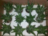 Piante e fiori artificiali della pianta succulente Gu-Jys-00033