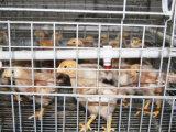 A exploração agrícola de galinha nova das aves domésticas da automatização prende o equipamento para os pintainhos pequenos quentes/frio mergulhado galvanizado (um tipo o frame)