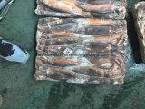 Chinesischer ansteckender Kalmar vom Argentinien-Sebereich