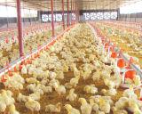 As aves domésticas pré-fabricadas verteram para a produção da grelha