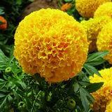 بائع جملة عين حيمين برتقالين [مريغلد] مقتطف ماء - [سلوبل] [زإكسنثين] [إكسنثوفلّ] ([كس] رفض.: 127-40-2)
