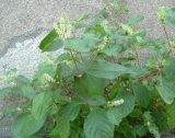 Achyranthesのルートエキス