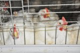 Gabbia del pollo da carne con buona qualità & il prezzo da vendere (un tipo)