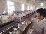 Оборудование для сельского хозяйства куриные каркас для растущих Brolier