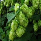 高品質草ビールホツプの花のエキスの粉
