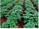 Alta polvere solubile in acqua del fertilizzante del residuo del fertilizzante del fosfato NPK 13-40-13+Te organica