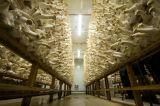 Klima Controller für Mushroom Cultivation Raum