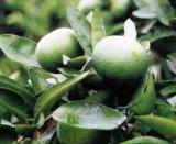 柑橘類のAurantiumのエキスのPmfs 30%60% Polymethoxylatedのフラボンの苦いオレンジエキス