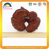 Органическое аттестованное Duanwood сломанное раковиной Ganoderma Lucidum