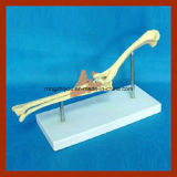 Modelo de esqueleto animal de ensino biológico da junção de cotovelo do cão