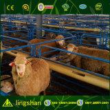 Construcción de acero ligera de la granja de las ovejas del bajo costo del edificio