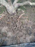 유기 포도 설치에 Unigrow 토양 비료