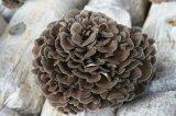 Polvere del fungo di Maitake di alta qualità/polvere dell'estratto fungo di Maitake/polvere di Grifola Frondosa