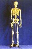 Modello di scheletro umano - Gd-0101a
