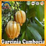 Garcinia Combogia Auszug (HCA) 50%/60%