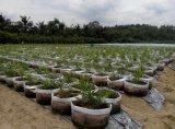 Ingwer, der mit Unigrow organischem durch Mikrobendüngemittel pflanzt