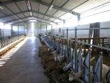 Les cheptels laitiers préfabriqués ont jeté/le modèle d'entrepôt structure métallique