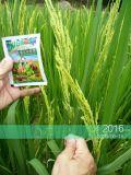 Riso usato con il concime organico di Unigrow
