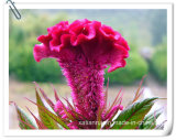 Pó natural do extrato de Cristat do Celosia da flor de Cockscomb do fabricante