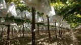 Muestra gratuita de papel kraft blanco resistente al agua frutícola de la bolsa de protección de la guayaba