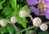 100% reine Natur Banaba Blatt-Auszug Corosolic Säure durch HPLC