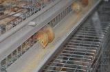 Poulet de poulette de ferme avicole le petit) (met en cage le matériel de système