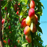 Natürlicher Malaysia-Mangofrucht-Geschmackskonzentrat-Saft für e-Flüssigkeit
