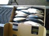 Toda a rodada peixe congelado Pacific Sarda Scomber Japonicus