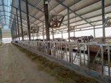 판매를 위한 낙농장에 있는 종아리 우유 공급 기계