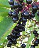 인기 상품에 고품질을%s 가진 양딱총나무의 열매 추출