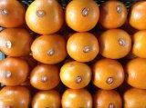 Ехпортировать (GLOBALGAP HACCP) свежий Pomelo