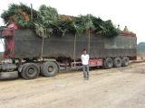 Trachycarpus Fortunei Palm Trees