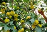 De délicieux fruits de la nouvelle récolte de poires ya poire