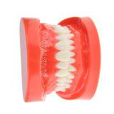 Bestes verkaufenmodell der zahn-vorbildliches zahnmedizinisches Zahn-Zyr-7004