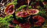 L'immunité de haute qualité à l'amélioration Ganoderma lucidum huile Shell-Broken Spore