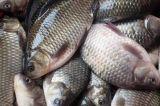 Affettatrice dei pesci di prezzi di fabbrica