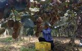 Unigrow organisches Biodüngemittel auf dem Kiwifruit-Pflanzen