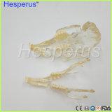 Enseignement vétérinaire de modèle de maxillaire de dents de lapin