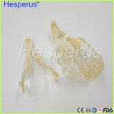 Кролик челюсти зубьев модели ветеринарных учебных Hesperus