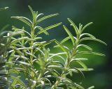 Suplemento nutricional extracto de romero Rosmarinic ácido para Cosmética antioxidante