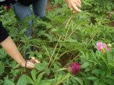 Fiore da taglio fresco del Peony erbaceo