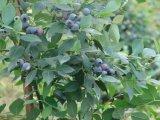 La protección natural 10: 1 extracto de hojas de arándano