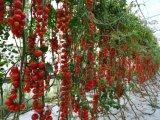 16X10 20X10meshのバージンのHDPEのトマトの木のための反アブラムシのネット