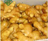 Le prix de gingembre en Chine, gingembre frais, aèrent le gingembre sec